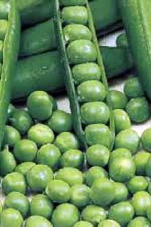 Semences potagères : Pois à écosser Utrillo