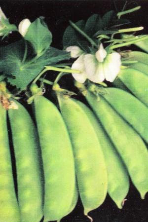 Semences potagères : Pois mangetout de Grâce