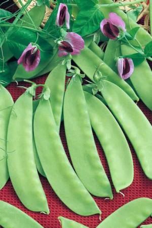 Semences potagères : Pois mangetout Norli BIO
